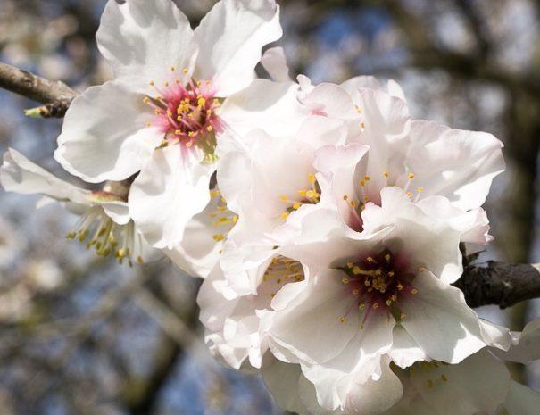 Mandorlo in fiore all'Agriturismo Sirimagus