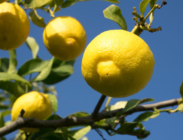 Limoni all'Agriturismo Sirimagus