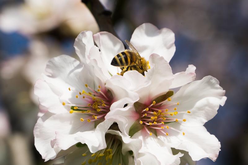mandorlo in fiore è arrivata la primavera in agriturismo